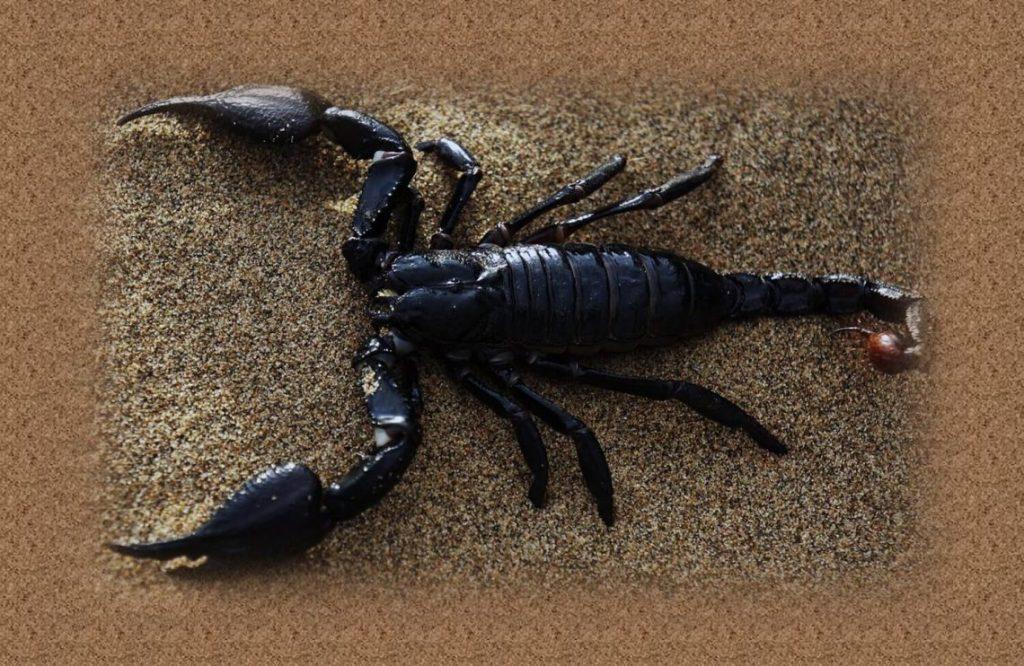 טיפ חשוב עקיצה מעקרב שחור מסוכנת לא פחות מעקיצת עקרב צהוב.תמונה של עקרב שחור.