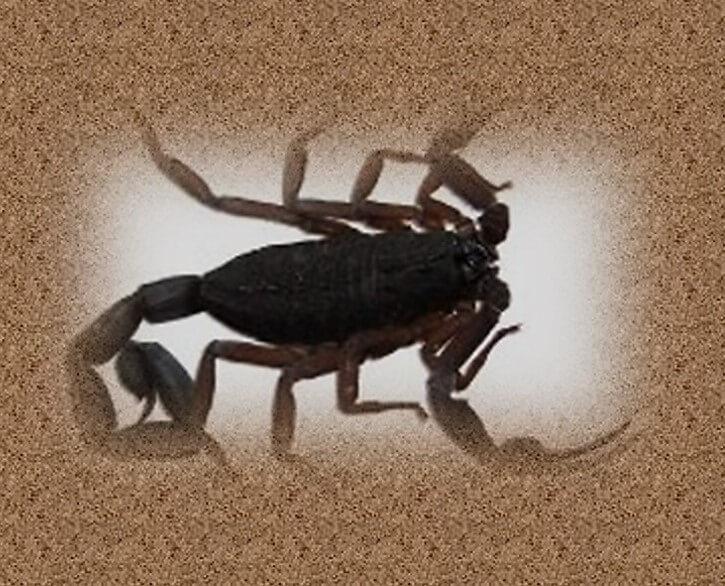 עקיצת עקרב טיפ עקיצה מעקרב שחור יכולה להסתיים אף במוות. תמונה של עקרב שחור בחול.