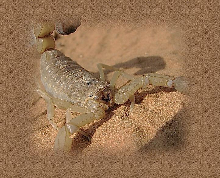 עקיצת עקרב צהוב מסוכנת ביותר! תמונה של עקרב צהוב.