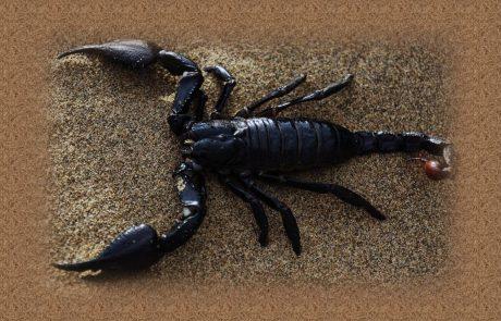 עקיצת עקרב – ריקוד מושחת עם עקרב שחור